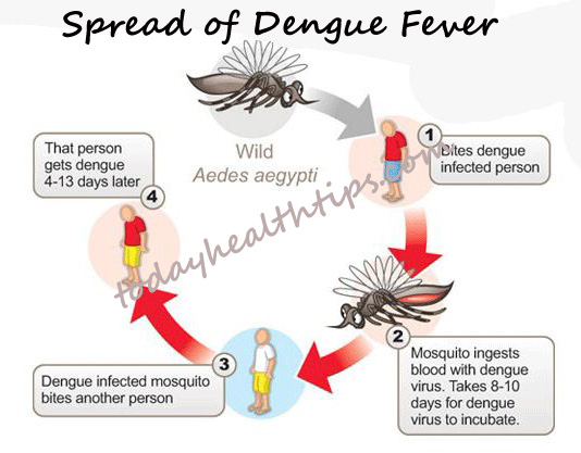 About dengue mosquito