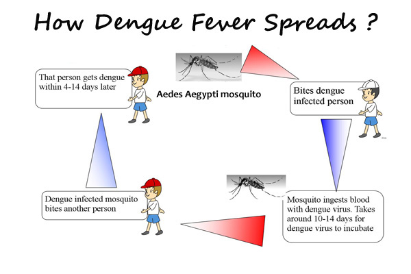 How Dengue Fever Spreads